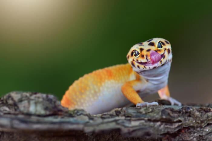 """Rechtsmissbräuchliche Abmahnung: """"Mensch mit Gecko nicht vergleichbar"""""""